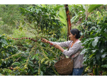 Ekologisk och Fairtrade-certifierad odling i Peru