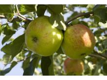 Äpplen på Julita gård