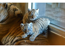 Tiger + ungar 2 Orsa Rovdjurspark 2018