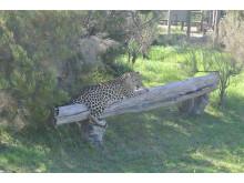 På ett djurshelter utanför Plettenberg Bay, där denna leopard togs om hand