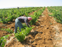 Chateau Musar vineyards Bekaa Valley
