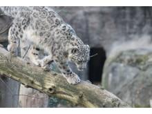 Schneeleopard Barid