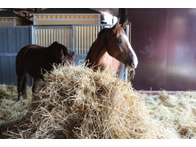 Halmfoder ger inte hästar magsår
