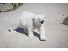 Ranua Polar Bear Cub 7