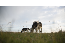 Cows on grass.jpg