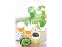 Odlingsset - Edamame Cultivation Kit