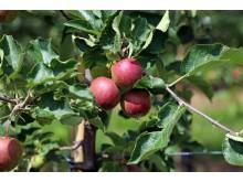 Sächsisches Obstland - Äpfel