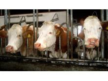Milchkühe im Stall_Welttierschutzgesellschaft