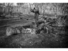 Elefant dödad av tjuvjägare i ett reservat