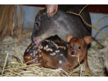 Världens minsta hjort har fått unge
