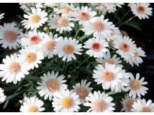 Argyranthemum LaRita Toffe