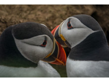 Sony Nature Puffin2