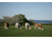 fyra kor på sommarbete