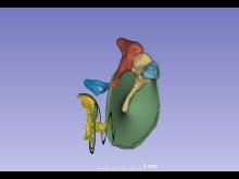 Innerörat i 3D