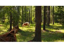 Skogsbete