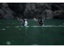 Papageientaucher_Bedrohte Tiere_RX10 III von Sony_03