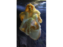 Åttaarmad bläckfisk