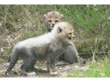 Gepardungarna ute för första gången - 1