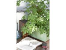 1 Dr Westerlunds Blomma / Rosengeranium, Pelargonium Doftpelargon-Gruppen 'Graveolens' Grönt Kulturarv G358