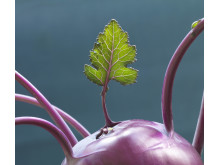 Leaf growing out of purple kohlrabi
