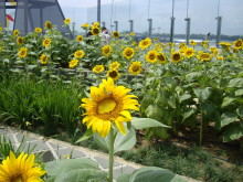Sunflower garden (day)