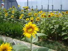 Sunflower garden (day)