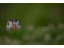 Papageitaucher_Bedrohte Tiere_RX10 III von Sony_12