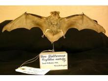 Stor fladdermus ur Naturhistoriska riksmuseets samlingar