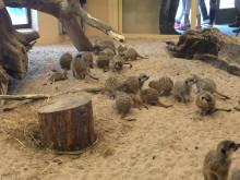 Prova på att vara surikat i nya ökenhuset i Parken Zoo