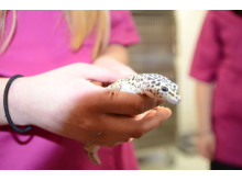 Leopardgeckon Greger