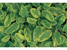 Kryddsalvia – Salvia officinalis 'Icterina'