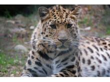 Amurleopard på Nordens Ark