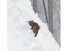 Leopardunge ute i snön