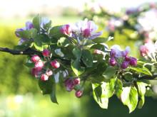äppelblom på Kivikås