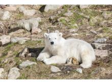Ranua Polar Bear Cub 6