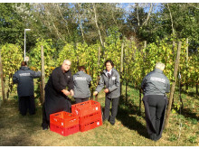 Das Team vom Mercure Tagungs- & Landhotel Krefeld pflückte 163 Kilogramm Trauben im hauseigenen Weinberg für das beliebte Gelee.