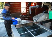 Daglig leder ved settefiskanlegget i Sundal, Sveinung Sandvik