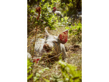 Hedemarkens Frilandsgris på MENYen