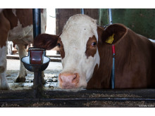 Kuh in Anbindehaltung_Welttierschutzgesellschaft