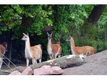 Zoo Leipzig - Guanakos
