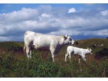 Nötkreatur, ko med kalv.