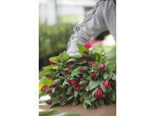 Att odla tulpaner är ett hantverk.