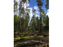 Domfälleskogen (stående)