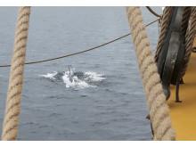 Delfin utanför Västervik. Siktad från briggen Tre Kronor af Stockholm