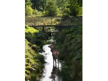 Skånes Djurpark - kronhjort