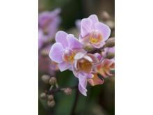 Brudorkidé Phalaenopsis