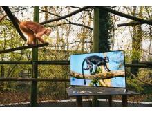 Sony4K_Langurs_ _Zoo9b