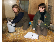 Gepardungarna i Borås Djurpark 5 veckor gamla