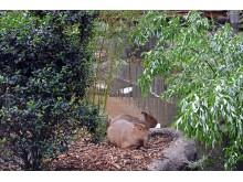 Zoo Leipzig - Capybaras