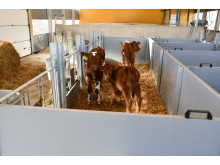 Calf bins for they come from the individual bins to the right in the picture. Further into the room there are deep bins for older calves.